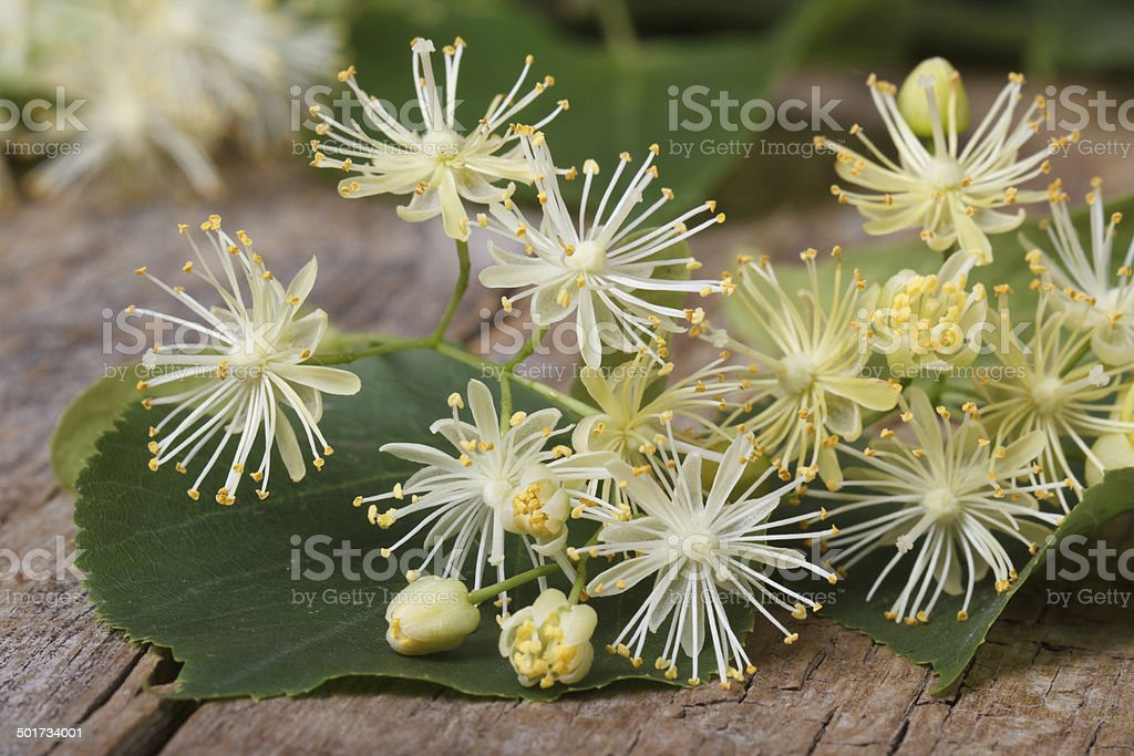 yellow flowers fragrant linden macro stock photo