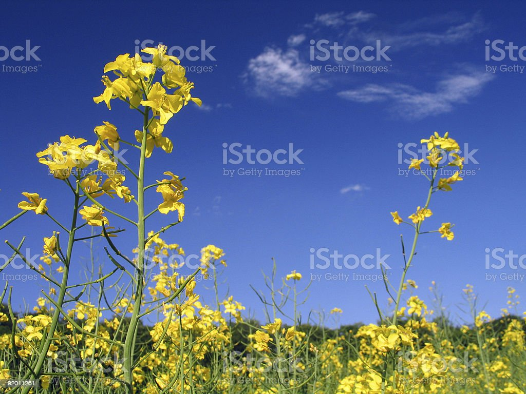 Yellow Flowers from Lower View stock photo