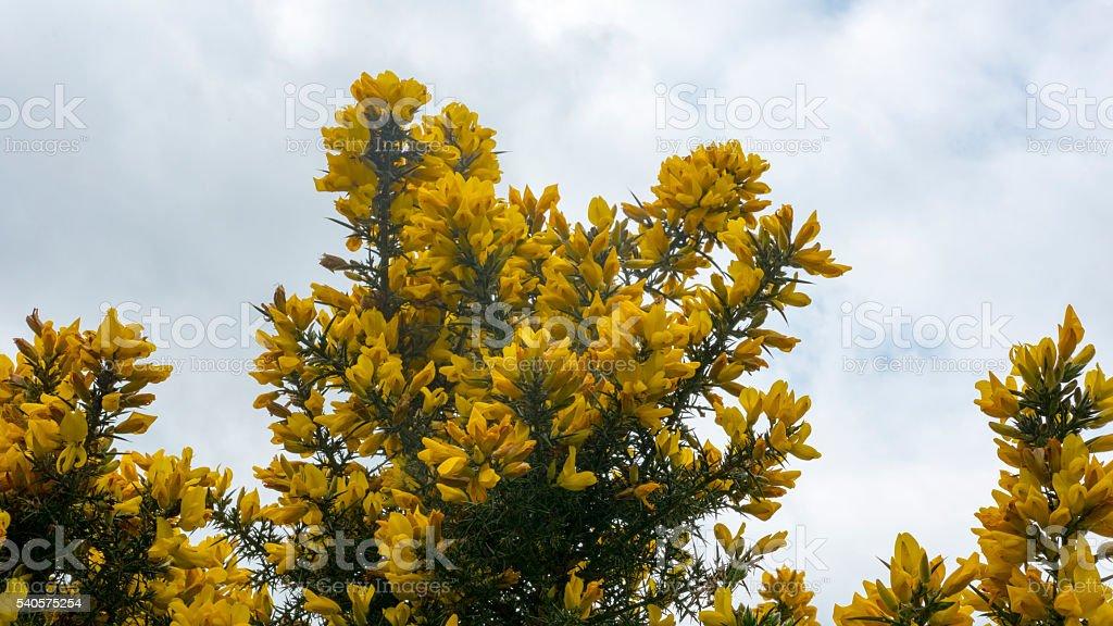 amarelo flores crescendo em uma tojo arbusto