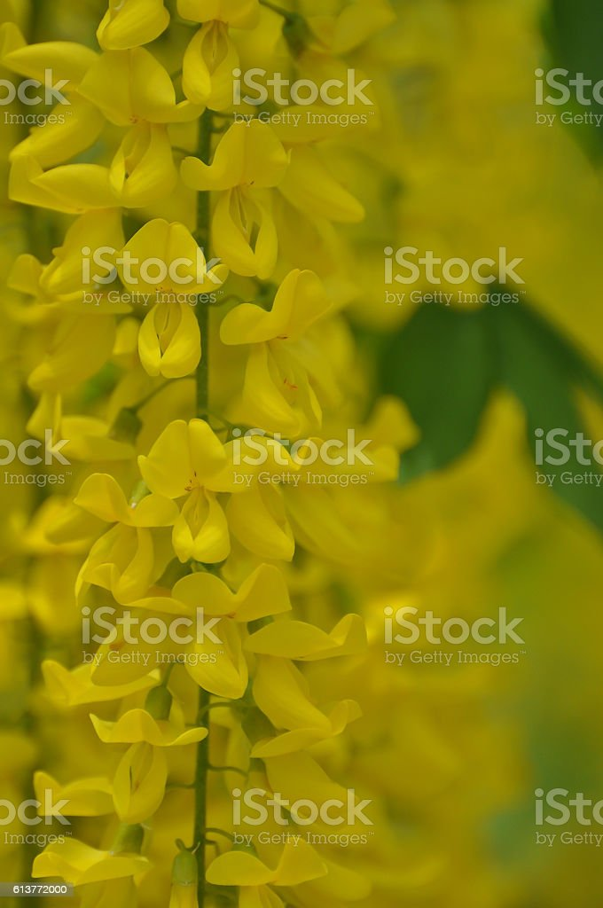 Yellow flowers hanging on a tree vine stock photo
