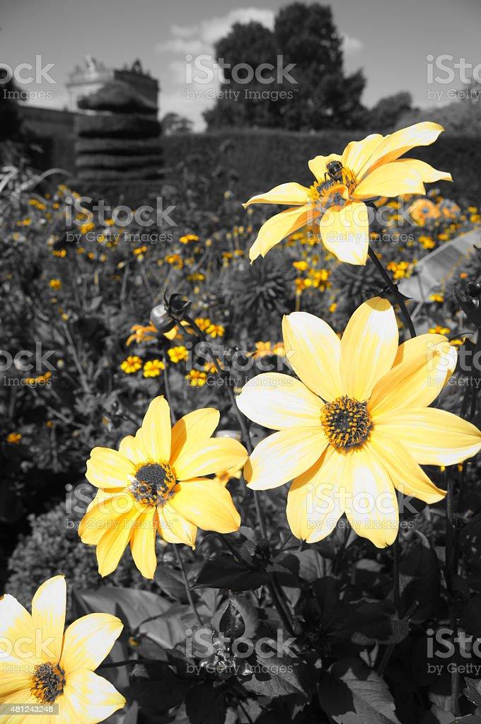 Amarillo flores en un campo contra un fondo blanco y negro foto de stock libre de derechos