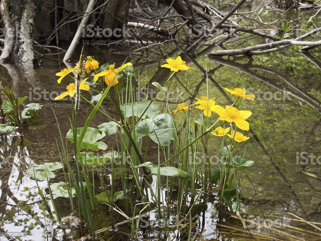 yellow flowers in lake royalty-free stock photo