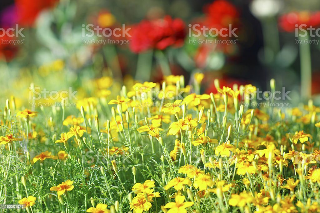 Yellow flowers in meadow as a texture royalty-free stock photo