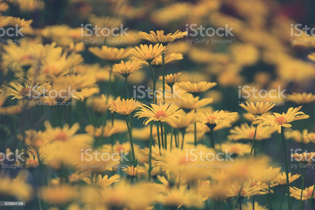 yellow flowers in meadow stock photo