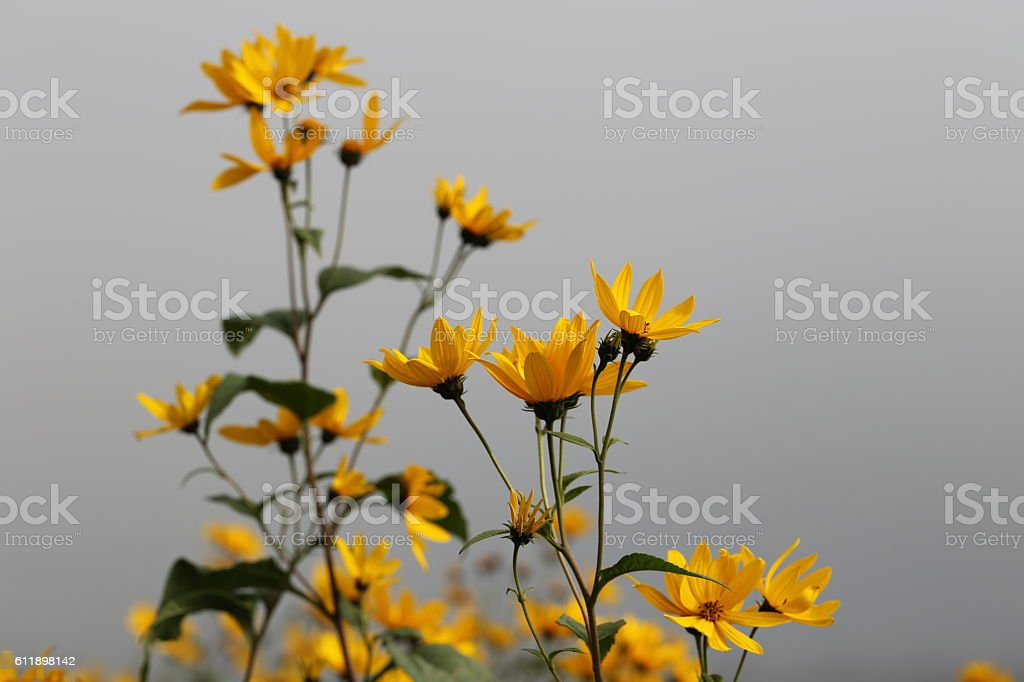 Yellow Flowers in the Fog stock photo