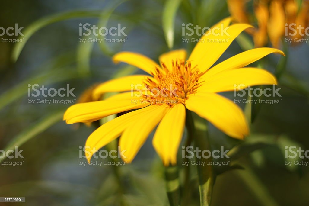 Yellow flowers in the garden stock photo