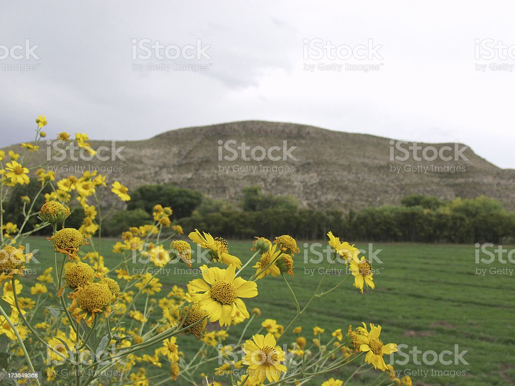 Yellow flowers in the Hondo Valley. stock photo
