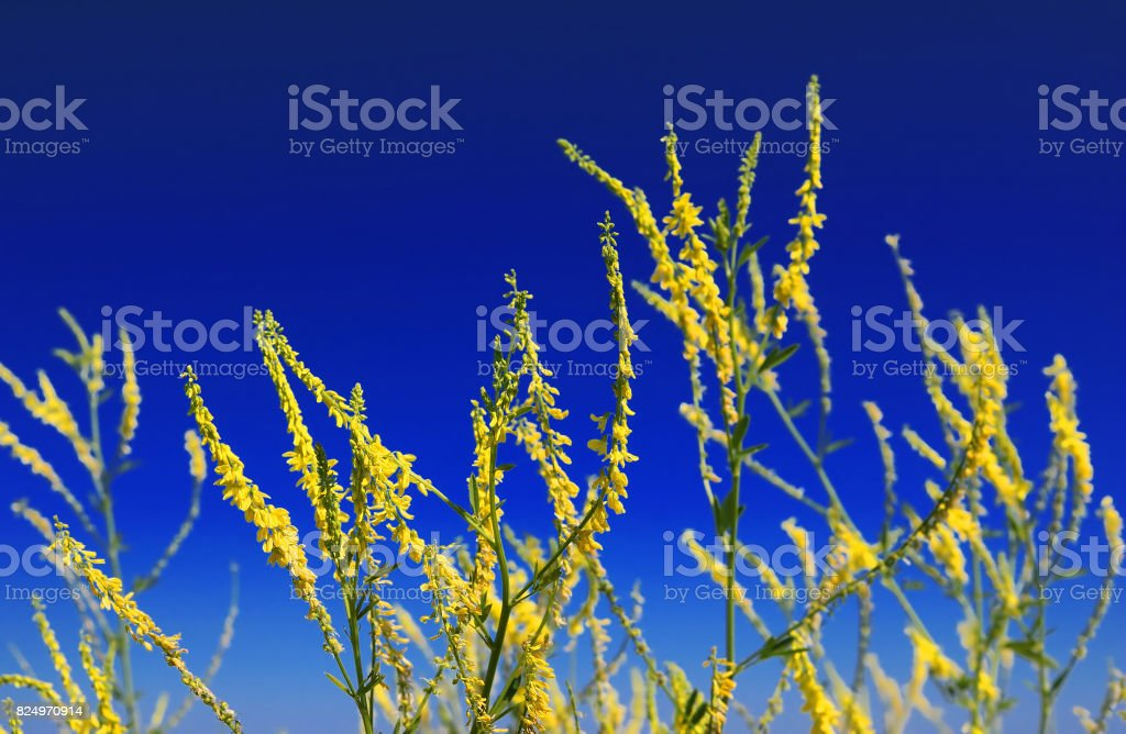 Yellow flowers in the summer field over blue sky background stock photo