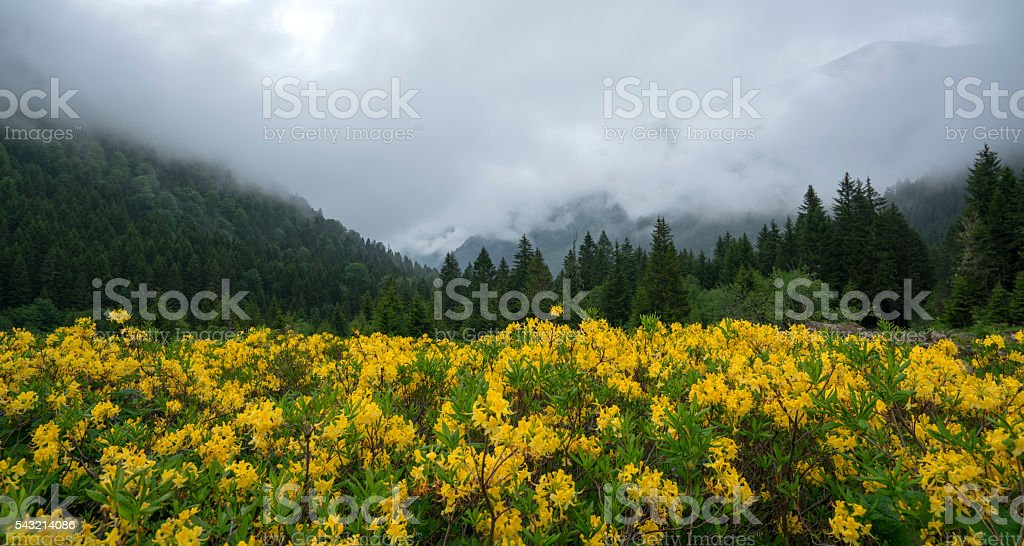 Yellow flowers in valley stock photo
