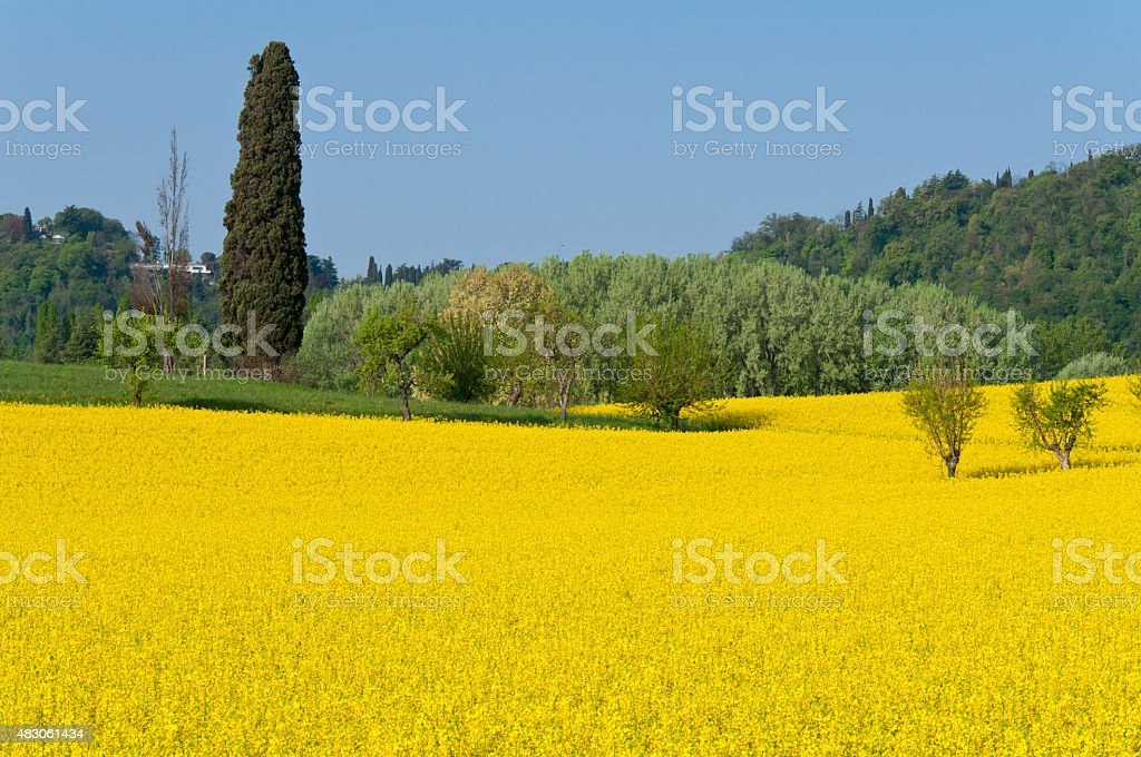 Yellow flowers in Vicenza Italy stock photo