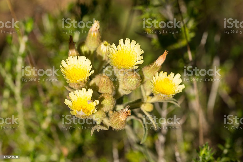 Yellow flowers of Andryala in bloom in the Algarve royalty-free stock photo