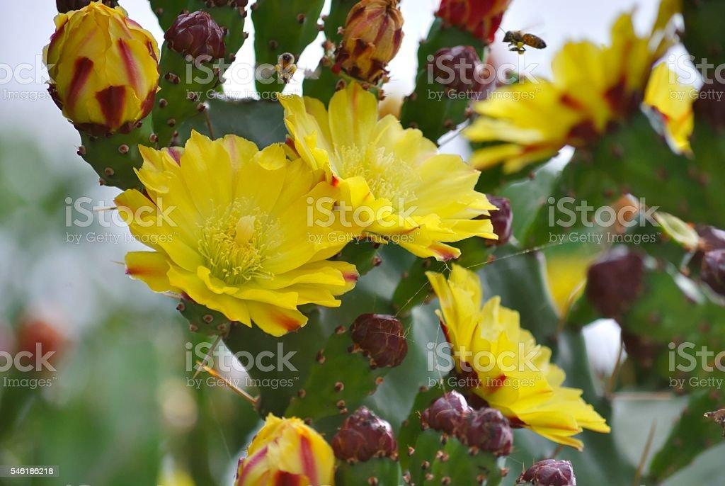 Yellow flowers of blooming cactus zbiór zdjęć royalty-free