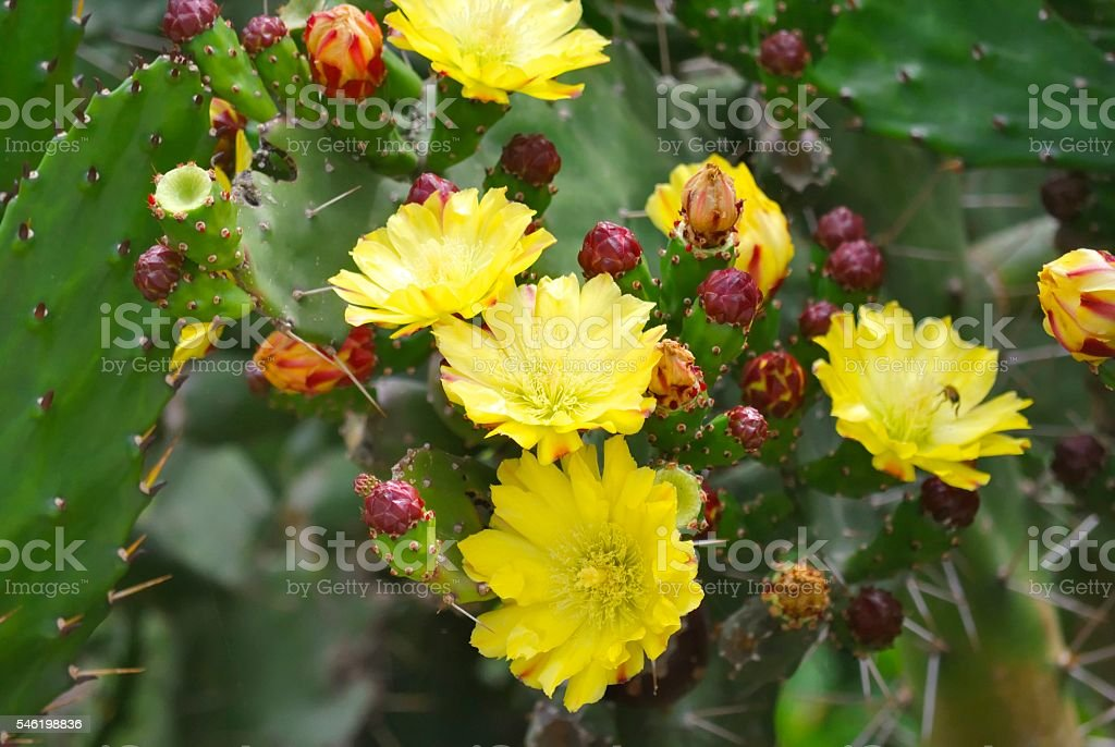 Yellow flowers of blooming cactus stock photo