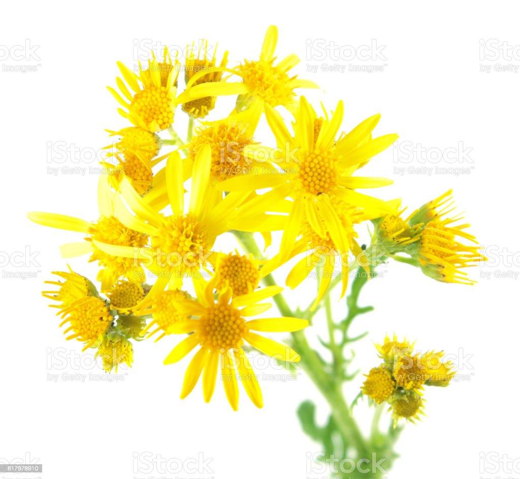 Yellow flowers of Common ragwort (Jacobaea vulgaris) isolated on white background. Medicinal plant stock photo