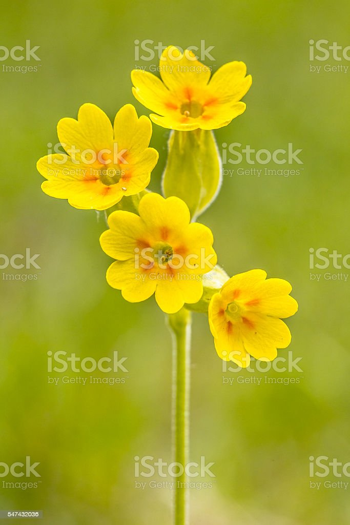 Yellow flowers of cowslip stock photo