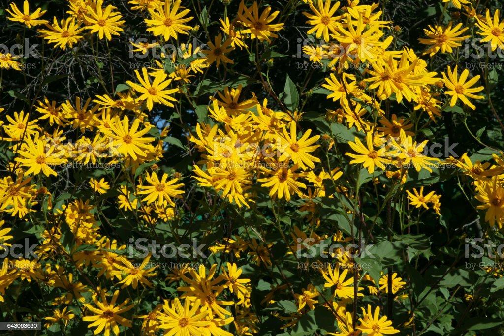 Yellow flowers of Jerusalem artichoke Helianthus tuberosus also called topinambour , sunroot, sunchoke and earth apple stock photo