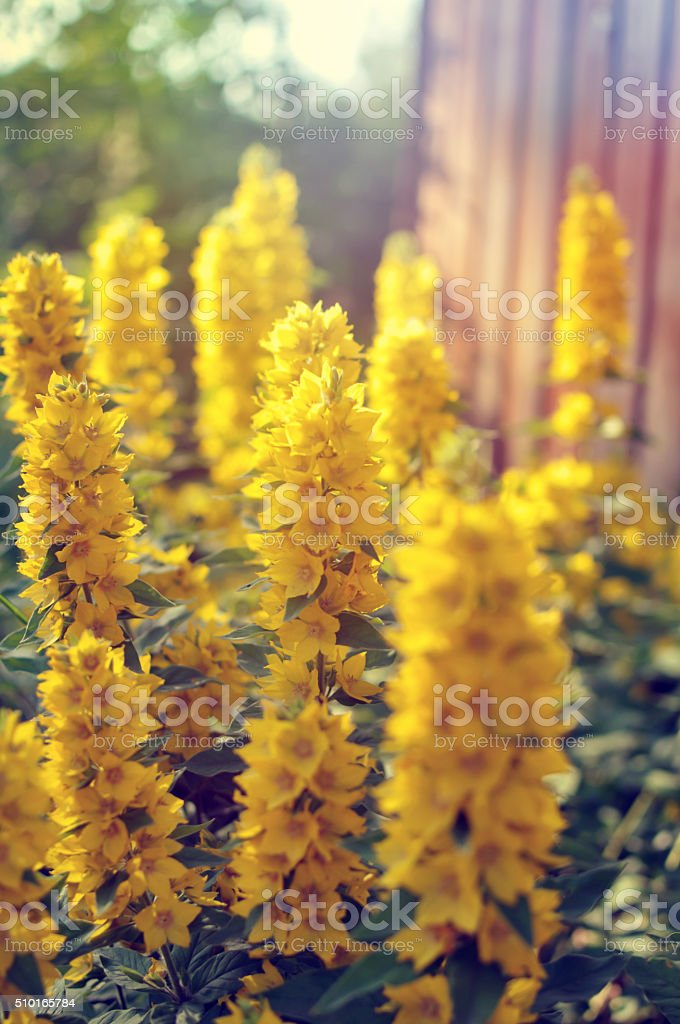 Yellow flowers of loosestrife stock photo