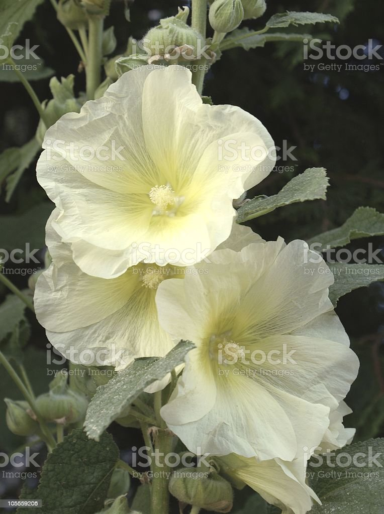 yellow flowers of mallow stock photo