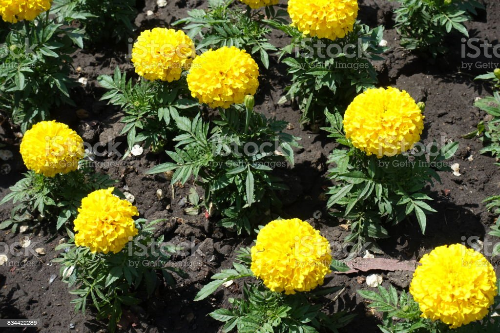 Yellow flowers of marigold in the flowerbed stock photo