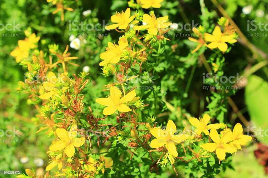 Yellow flowers of St.-John's wort stock photo