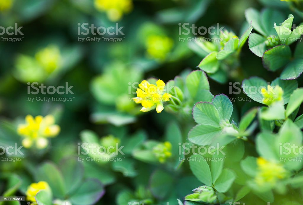 Yellow flowers of the clover stock photo