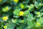 Yellow flowers of the clover