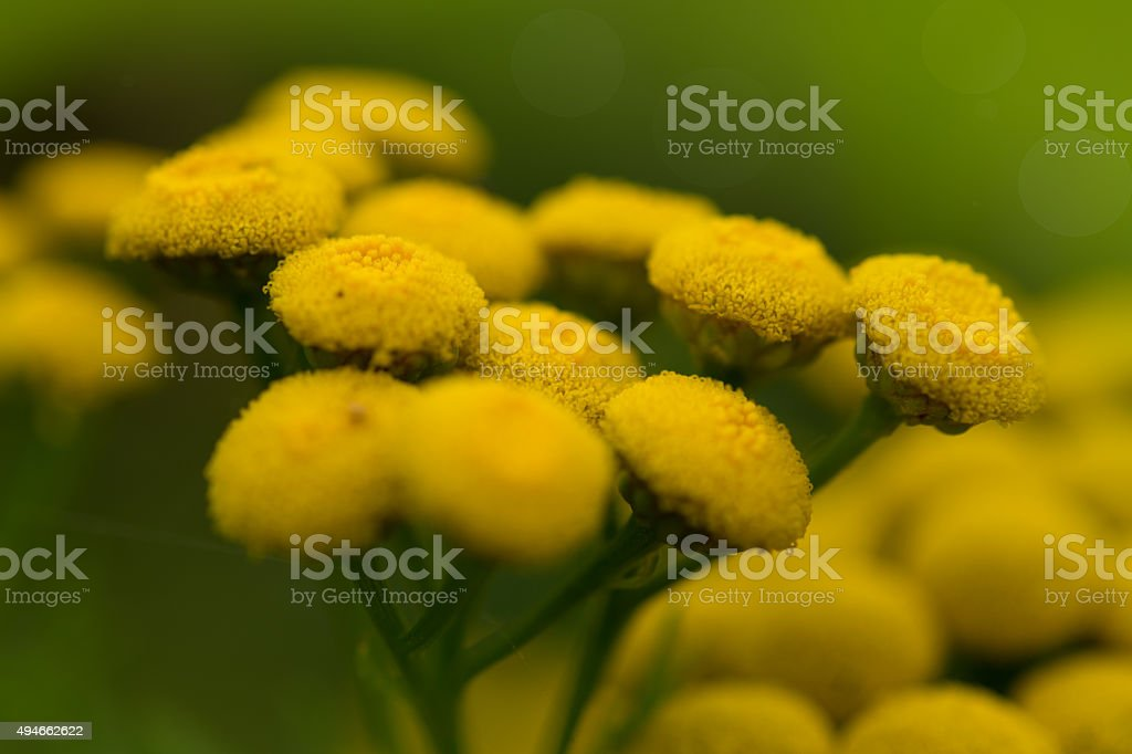 yellow flowers of the feverfew stock photo