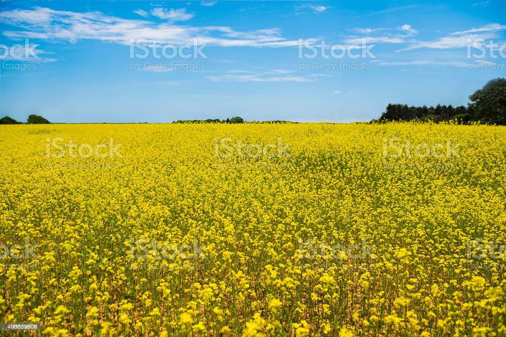 Yellow flowers on a Field with Blue Sky stock photo