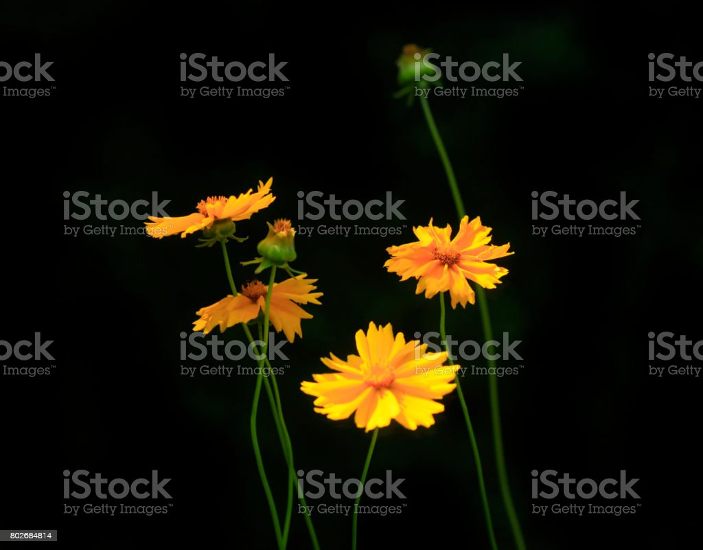 yellow flowers on black background stock photo