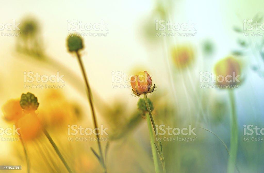 Yellow flowers (wild meadow flower) royalty-free stock photo