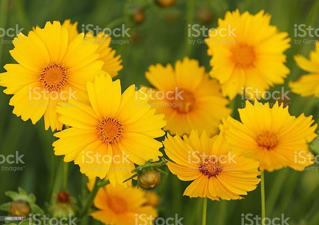 Fleurs jaunes. photo libre de droits