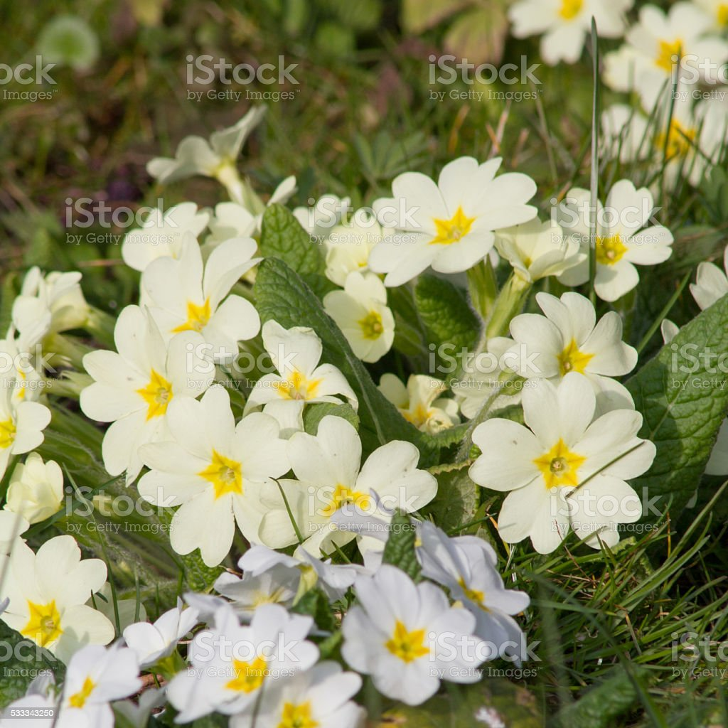 Yellow flowers Primroses (Primula Vulgaris) on a bed stock photo