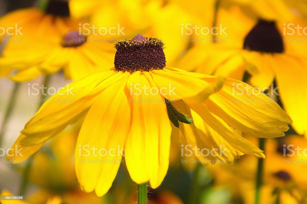 yellow flowers rudbeckia royalty-free stock photo