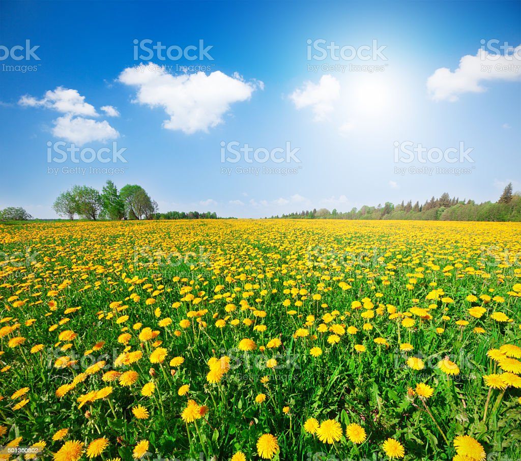 yellow  flowers under blue cloudy sky stock photo