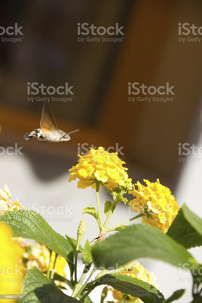 yellow flowers with butterflu royalty-free stock photo