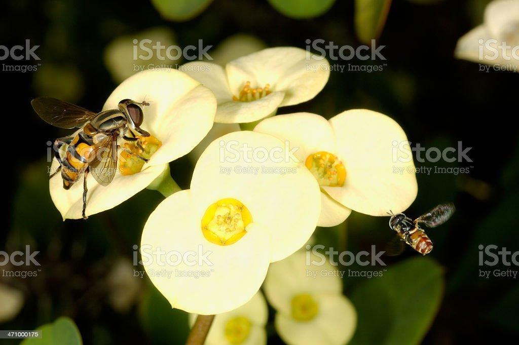 Yellow Fly royalty-free stock photo