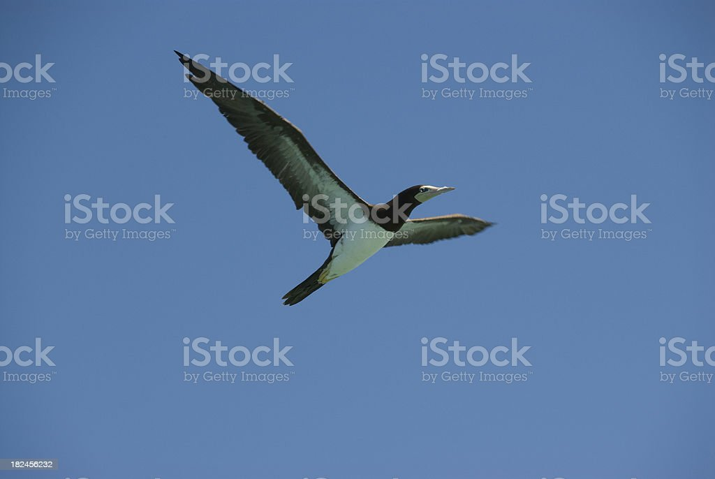 Yellow Footed Booby stock photo