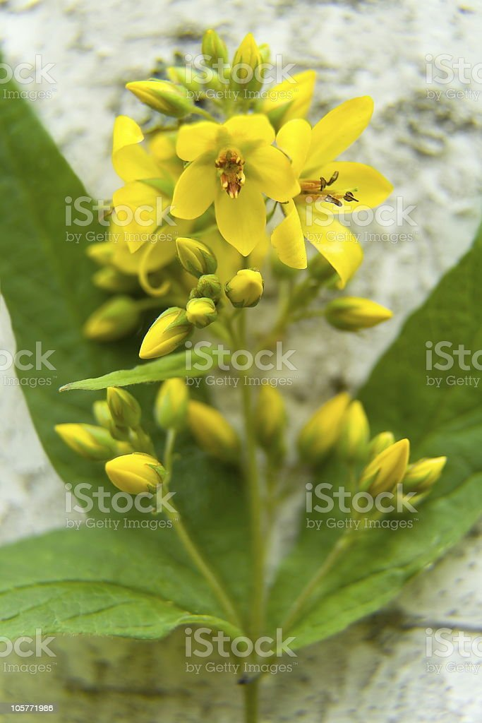 Yellow forest flower. royalty-free stock photo