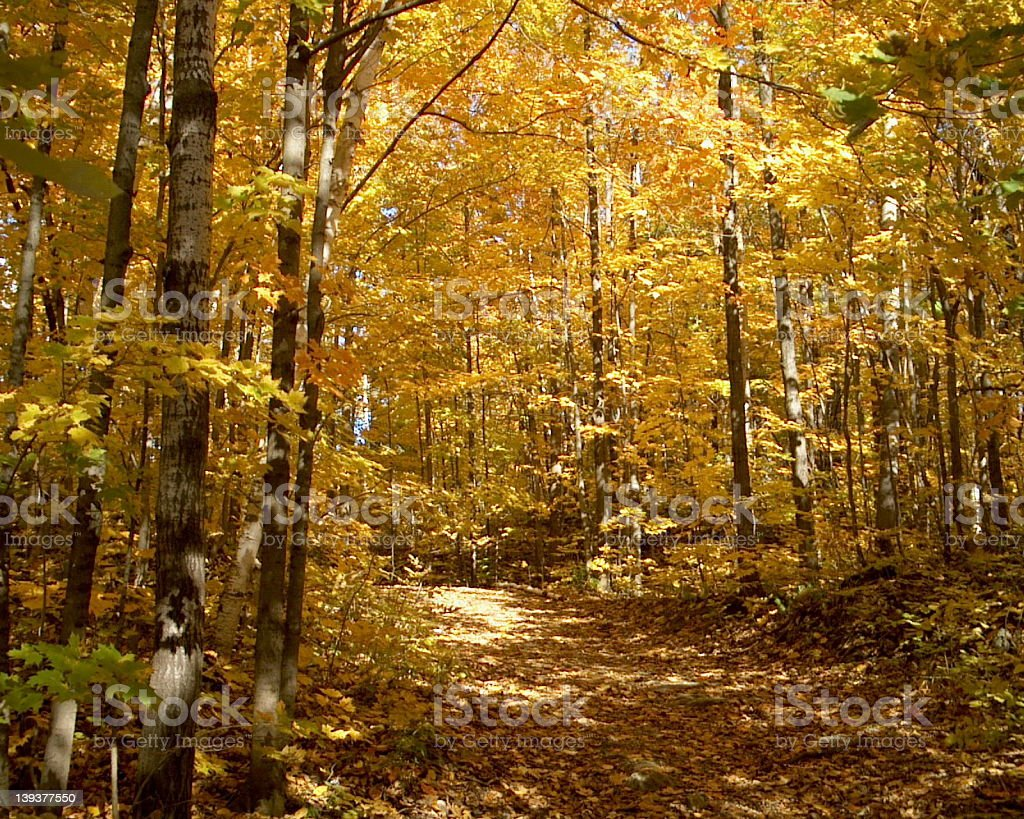 Yellow forest! royalty-free stock photo