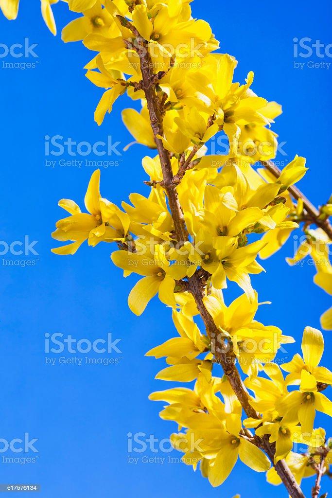 Yellow Forsythia flowers against blue sky stock photo