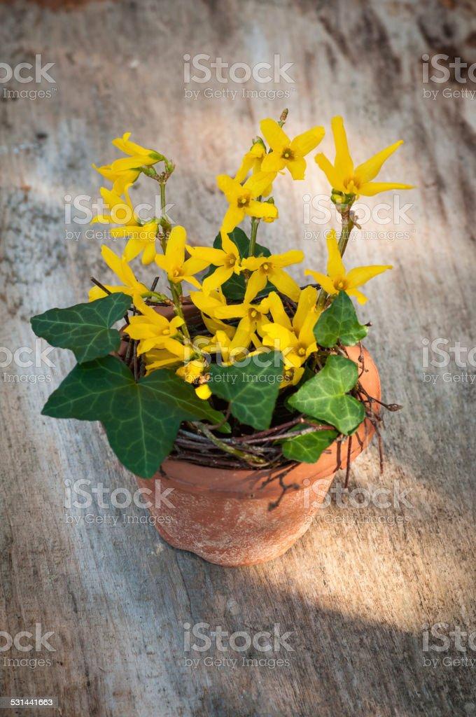 Yellow forsythia in flower pot. stock photo