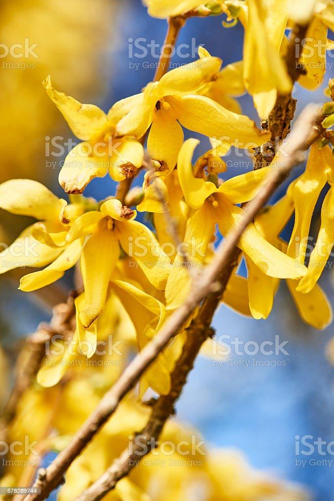 Yellow forsythia stock photo