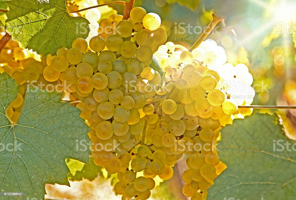 yellow fresh grapes on the vine stock photo