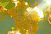 yellow fresh grapes on the vine