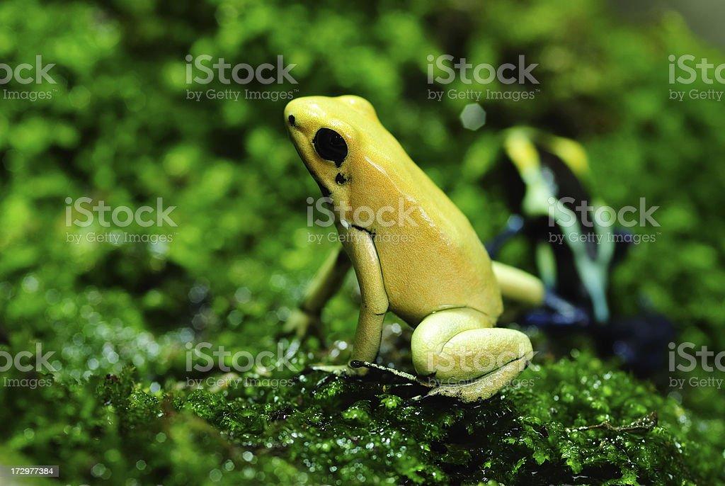 Yellow frog royalty-free stock photo