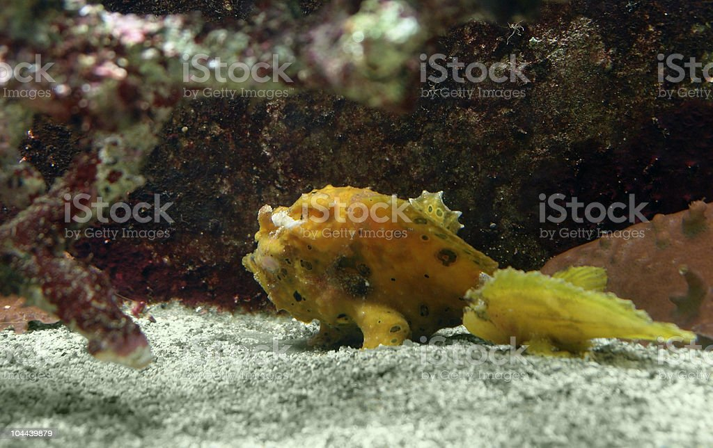 yellow Frogfish royalty-free stock photo