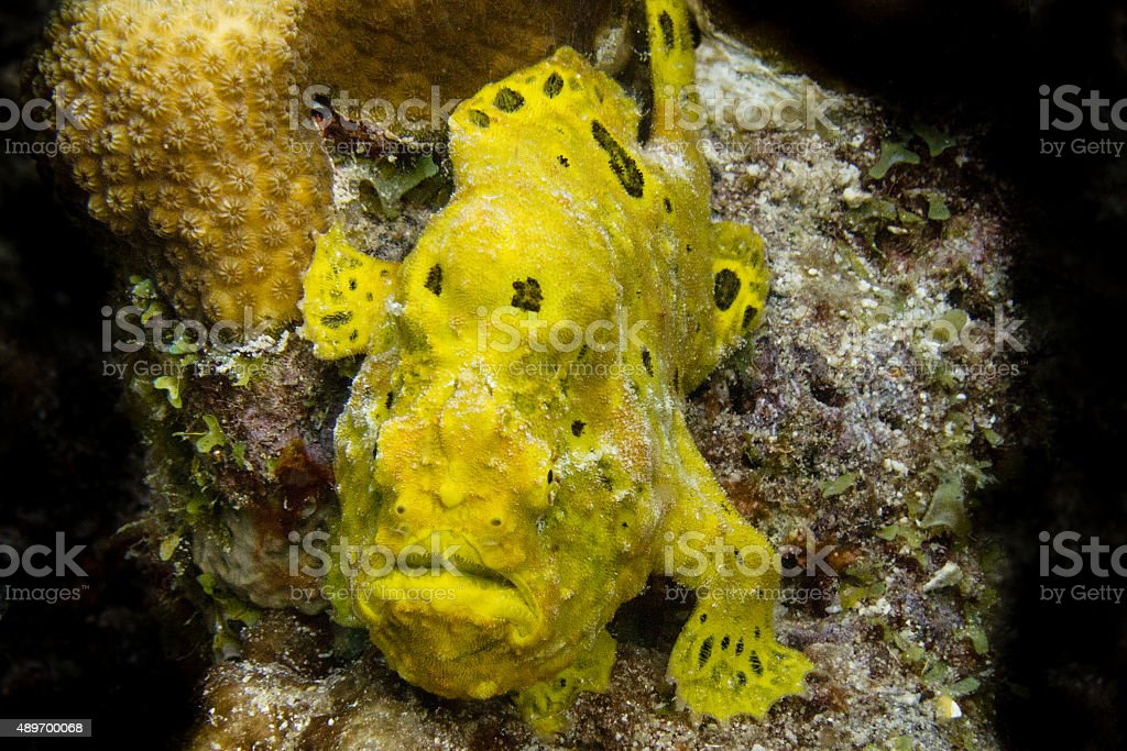 Yellow Frogfish stock photo