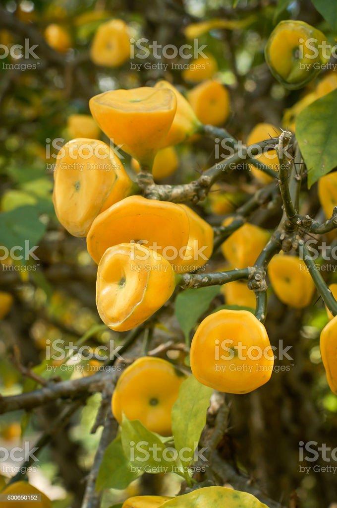 Yellow fruit of Wax Rose stock photo