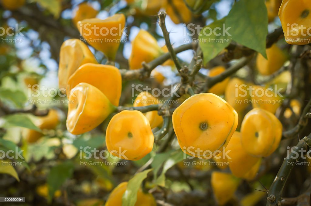 Yellow fruit of Wax Rose stock photo