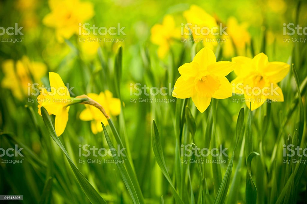 yellow garden daffodils stock photo